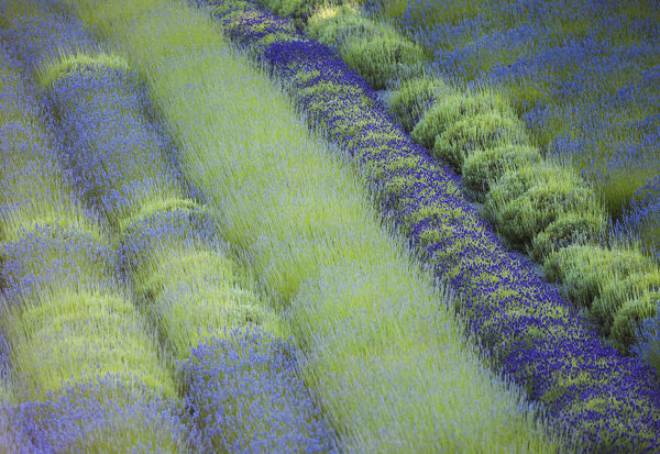 Rows of different lavender plants in a field in the cowichan valley;British columbia