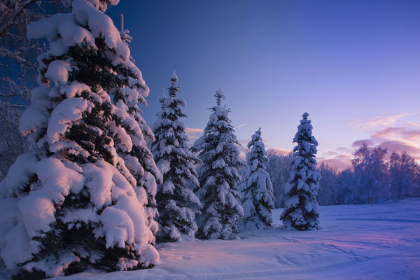 Snow Covered Spruce Trees At Sunset With Pink Alpenglow During Winter, Russian Jack Park, Anchorage, Southcentral Alaska, Usa